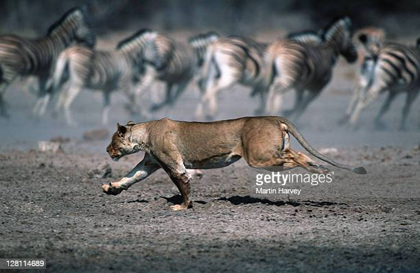 LIONESS STALKING AND CHASING PREY. PANTHERA LEO. ZEBRA RUNNING IN BACKROUND. ETOSHA NATIONAL PARK. NAMIBIA.