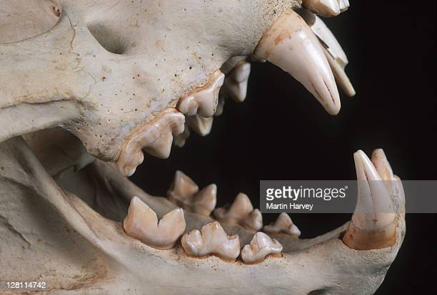 lion skull showing carnassial teeth, scissor-like teeth set in back of mouth for cutting through meat. common to most carnivores. panthera leo. - cat skeleton stock photos and pictures