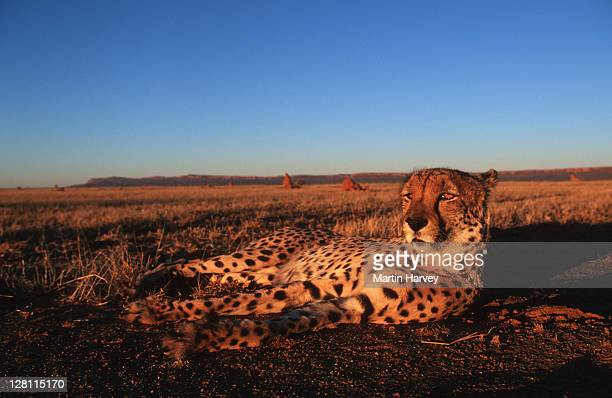 cheetah, acinonyx jubatus, - laying down. namibia. - lying down stock-fotos und bilder