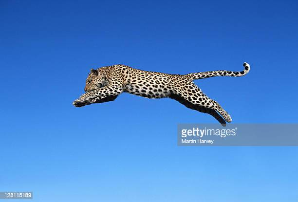 leopard jumping. panthera pardus. - largest of africa s spotted cats. - namibia. - leopard stock pictures, royalty-free photos & images