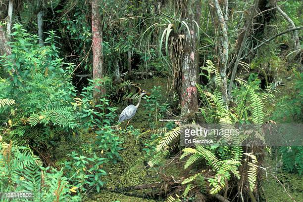 great blue heron at cypress swamp. ardea herodias. south florida. - cypress swamp stock photos and pictures