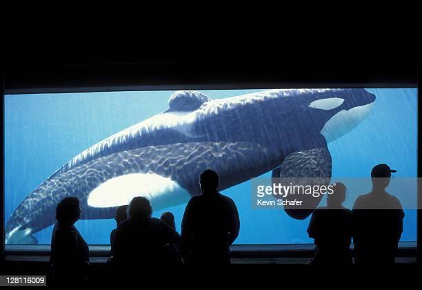 "killer whale (orca) keiko:free willy"". orcinus orca. oregon coast aquarium. oregon - animales en cautiverio fotografías e imágenes de stock"