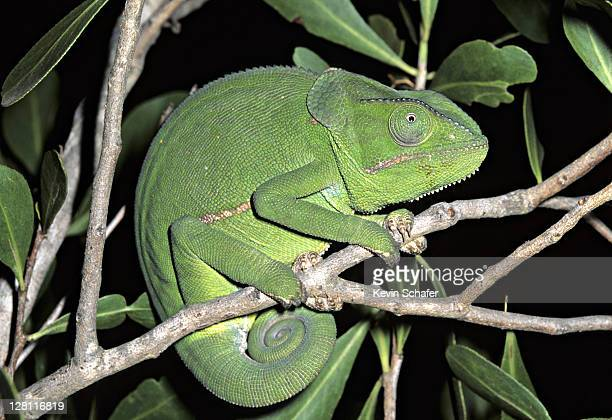 flap-necked chameleon. chamaeleo dilepis. south africa - squamata stock photos and pictures