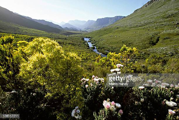 fynbos. known for its high plant diversity. cape floral kingdom. kogelberg nature reserve. south africa. - fynbos fotografías e imágenes de stock
