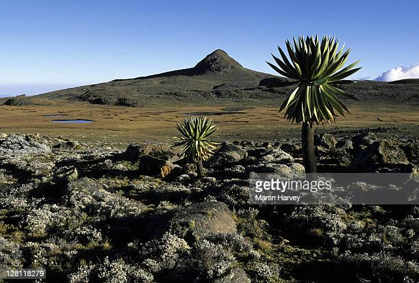 afro-alpine moorland. saneti plateau. altitude +4000 meters. bale mountains np. ethiopia. - east stock pictures, royalty-free photos & images