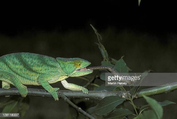 PARSON S CHAMELEON, CHAMAELEO PARSONII. MALE USES LONG STICKY TONGUE TO CATCH INSECTS. MADAGASCAR.