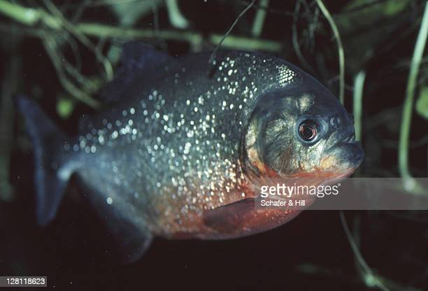 RED-BELLIED PIRANHA IN ORINOCO RIVER. VENEZUELA
