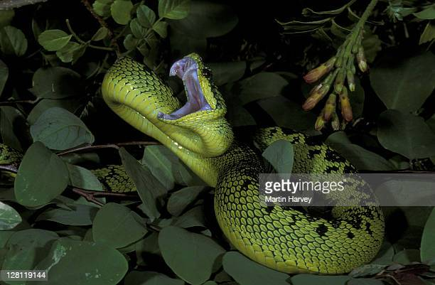 sedge viper. antheris nitchei. strikes with mouth open. central africa. - fang stock pictures, royalty-free photos & images