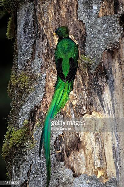 RESPLENDENT QUETZAL ON TREE TRUNK, TALMANCA RANGE, COSTA RICA