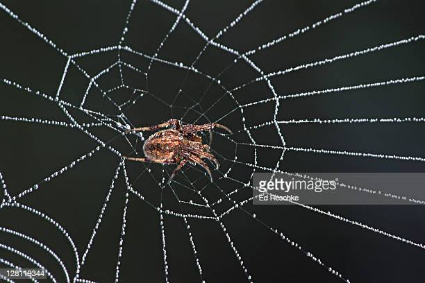 orb weaver spider, dewy spider web. great engineer, instinctive behavior. - ed reschke photography stock photos and pictures