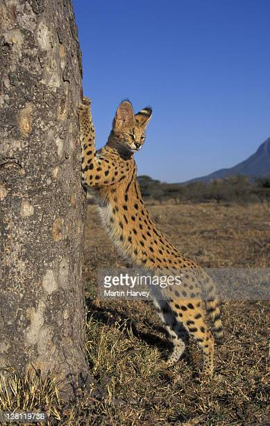 SERVAL, FELIS SERVAL. SHARPENING CLAWS ON TREE. SOUTH AFRICA.