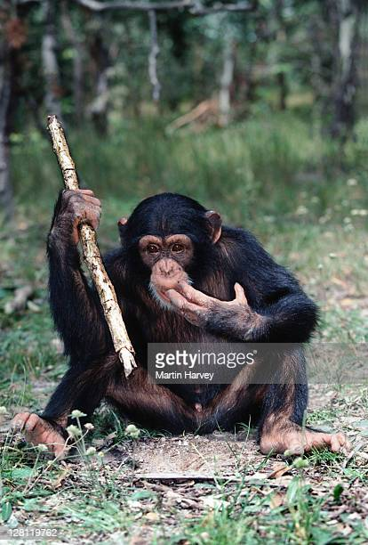 YOUNG CHIMPANZEE USING STICK AS A TOOL TO FEED ON TERMITES. PAN TROGLODYTES. CHIMFUNSHI CHIMP ORPHANAGE. ZAMBIA