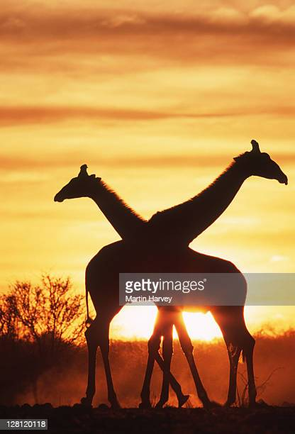 southern giraffes, giraffa camelopardalis, in silhouette against sunset. etosha national park. namibia - mammal stock pictures, royalty-free photos & images