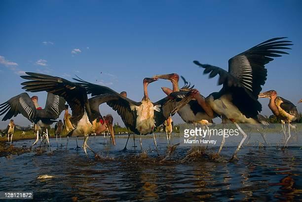 marabou storks, leptoptilos crumeniferus, feeding on fish in shallow water. lake ziway. ethiopia. - marabout photos et images de collection
