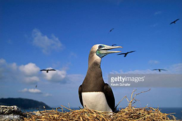 nesting brown booby, is. cabo blanco, costa rica. h - brown booby stock pictures, royalty-free photos & images