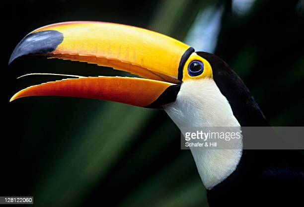 pa079-4 toco toucan (ramphastos toco); amazon rainforest, brazil h - toucan stock photos and pictures
