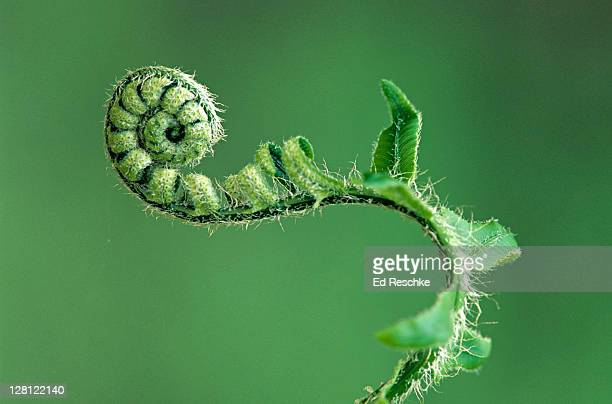 pa182-4 christmas fern, polystichum acrostichoides. fern fiddlehead uncoiling. great smokey mountains. - ed reschke photography stock photos and pictures