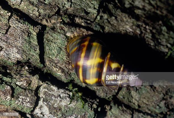 rare tree snails.liguus tree snails everglades np.fl.50 varieties found in hardwood hammocks. v - ed reschke photography imagens e fotografias de stock