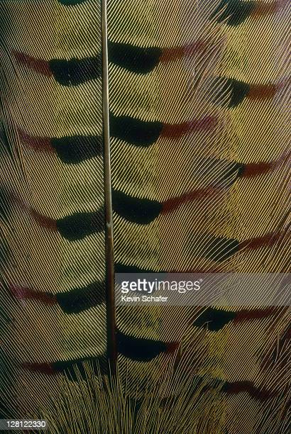 ring-necked pheasant.tail feather detail.phasianus colchicus v - pheasant tail feathers imagens e fotografias de stock