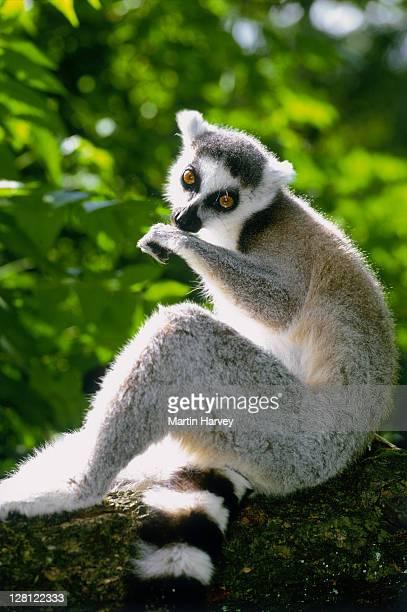 RING-TAILED LEMUR (LEMUR CATTA). ENDANGERED SP. DIST. MADAGASCAR