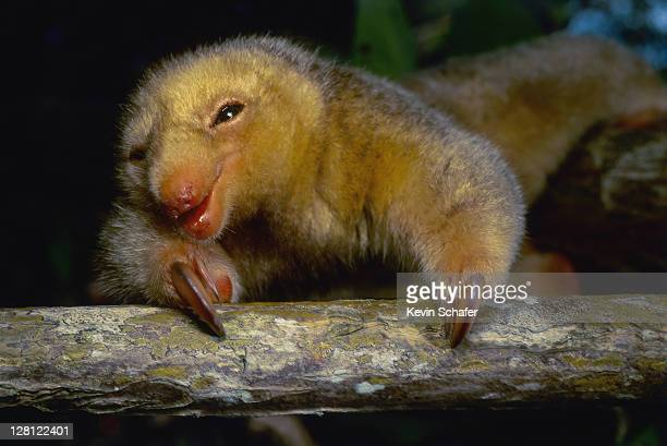 silky anteater(aka pygmy anteater) cyclopes didactylus.(si) mangroves, caroni swamp, trinidad,wi v sim to 155865 - silky anteater stock pictures, royalty-free photos & images