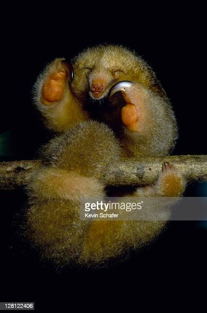 silky anteater(aka pygmy anteater) cyclopes didactylus.sleeping mangroves, caroni swamp, trinidad,wi v - silky anteater stock pictures, royalty-free photos & images