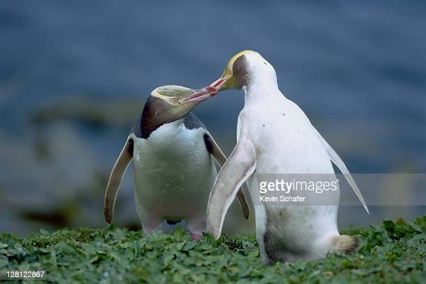 YELLOW-EYED PENGUINS, MEGADYPTES ANTIPODES. NORMAL AND LEUCISTIC BIRDS PREENING. NEW ZEALAND.