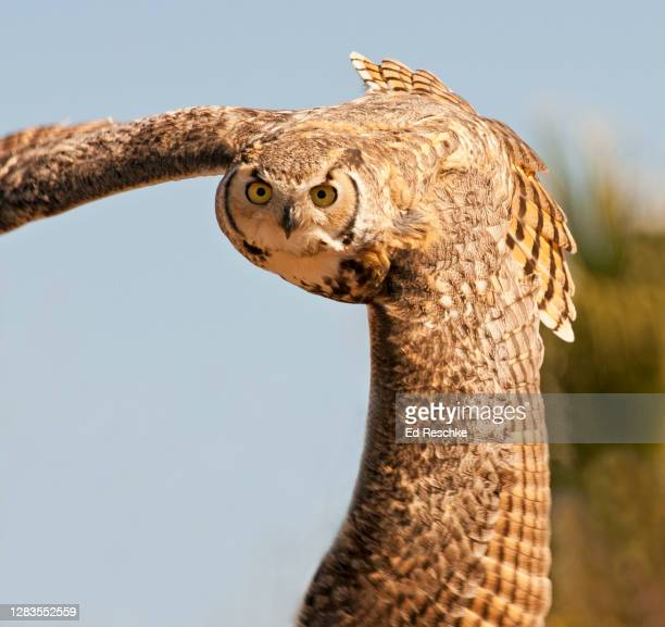 great horned owl (bubo virgianus) in flight - ed reschke photography stock pictures, royalty-free photos & images