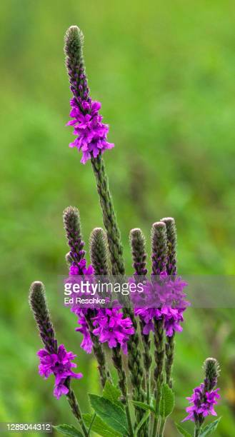 blue vervain (verbena hastata), attrative flower spikes resembling a candelabrum - ed reschke photography stock pictures, royalty-free photos & images