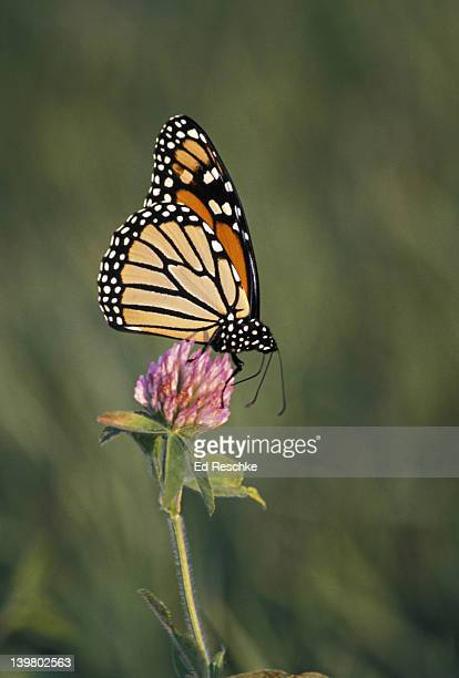 monarch butterfly nectaring on red clover. preparing in fall for long migration, 2000 miles. danaus plexippus. - ed reschke photography stock pictures, royalty-free photos & images
