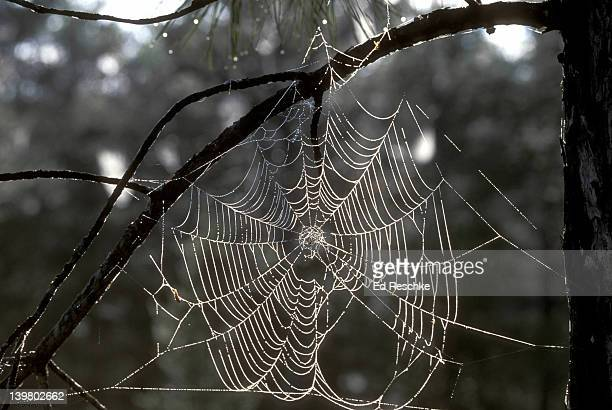 dewy spider web. orb weaver spider, great engineer. instinctive behavior. michigan - ed reschke photography stock photos and pictures