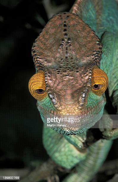 MADAGASCAR. PARSONS CHAMELEON. CHAMAELEO PARSONII. EYES POINT FORWARD WHEN FOOD IN SIGHT