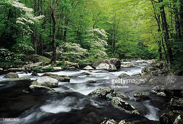 mountain river & dogwoods. spring. great smoky mts np.  middle prong of little river, tennessee. usa  - spring flowing water stock pictures, royalty-free photos & images