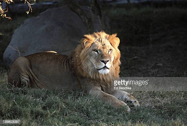 male lion (felis leo, panthera leo) houston zoo, texas - ed reschke photography stock photos and pictures