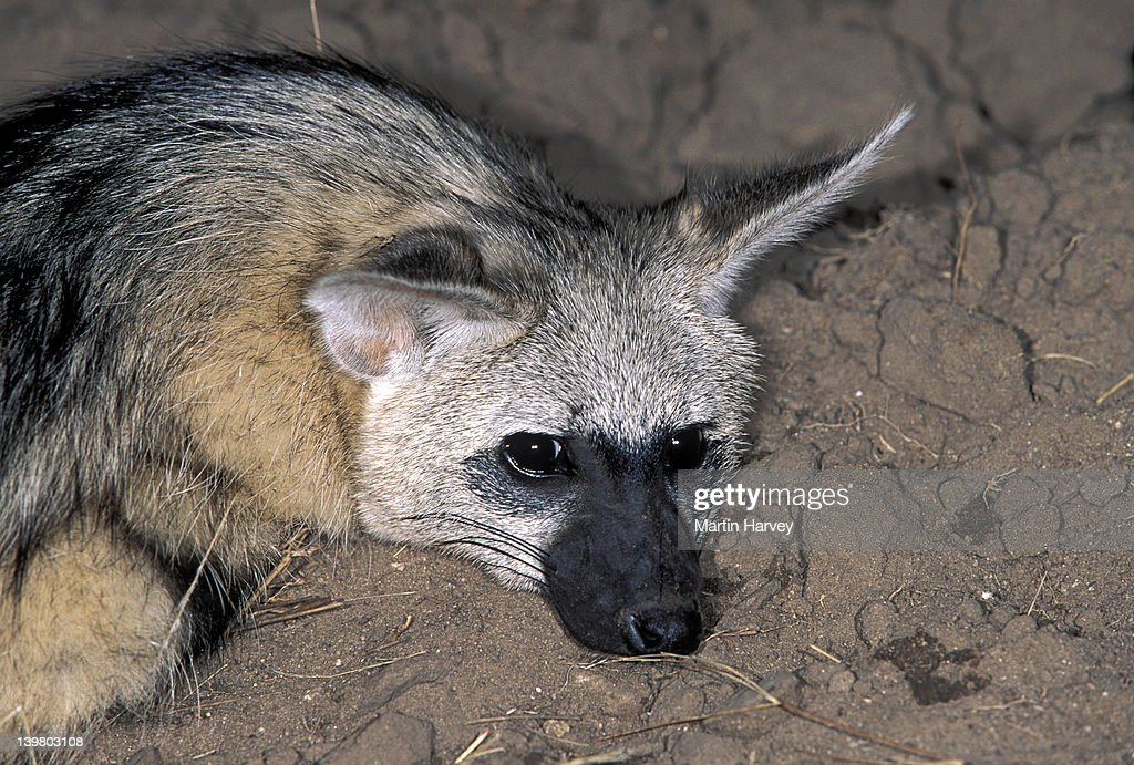 AARDWOLF, PROTELES CRISTATUS.  NAMIBIA. NOCTURNAL PREDATOR OF  TERMITES IN SOUTHERN & EAST  AFRICA. : Stock Photo