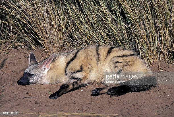 AARDWOLF, PROTELES CRISTATUS, SLEEPING. NOCTURNAL PREDATOR OF TERMITES IN SOUTHERN & EAST AFRICA. NAMIBIA.