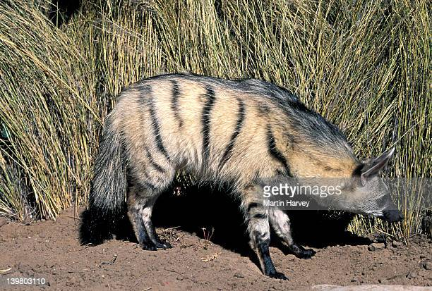 AARDWOLF, PROTELES CRISTATUS.  NAMIBIA. NOCTURNAL PREDATOR OF  TERMITES IN SOUTHERN & EAST  AFRICA.
