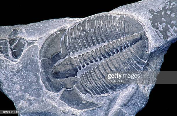 fossil trilobite. elrathia middle cambrian. 540 million years ago. western us - ed reschke photography photos et images de collection