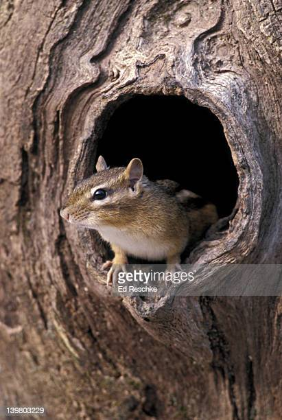 EASTERN CHIPMUNK, TAMIAS STRIATUS. SLEEPS IN BURROW FOR WINTER STOCKED WITH SEEDS & NUTS (DOES NOT HIBERNATE). MICHIGAN