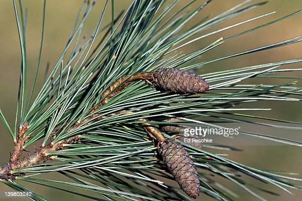eastern white pine cones, immature. pinus strobus. largest conifer. northeastern michigan. - eastern white pine stock pictures, royalty-free photos & images