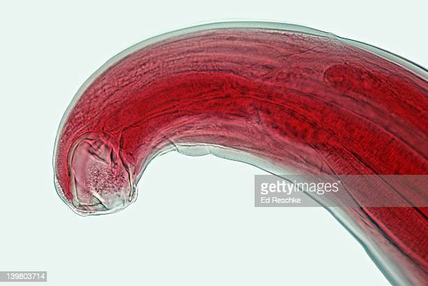 hookworm, necator americanus, buccal cavity. shows buccal cavity, digestive tract, cuticle. 50x  - tapeworm stock photos and pictures