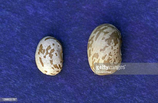imbibition (water absorption prior to germination)  of pinto bean;  before (left), after (right). (ic) - pinto bean stock pictures, royalty-free photos & images
