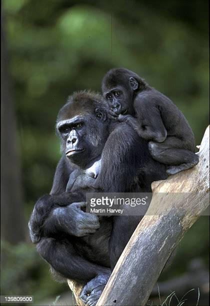 WESTERN LOWLAND GORILLAS. - GORILLA GORILLA GORILLA. - MOTHER & YOUNG. ENDANGERED. - TROPICAL RAINFOREST. W. CENTRAL AFRICA
