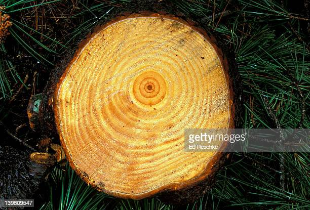 CROSS SECTION OF A LOG. ANNUAL GROWTH RINGS. PONDEROSA PINE. PINUS PONDEROSA. OREGON.
