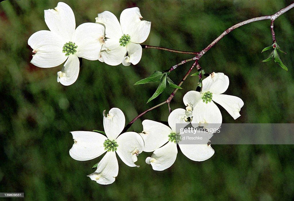 flowering dogwood cornus florida eastern deciduous forest ストック