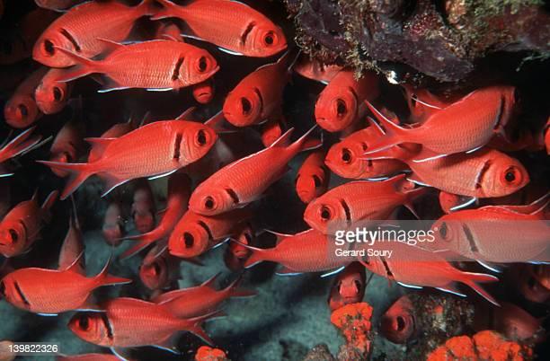 squirrelfish school. myripristis sp., holocentridae. french antilles (*) - squirrel fish stockfoto's en -beelden