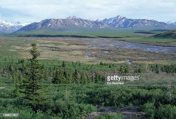 TAIGA- END OF THE NORTHERN BOREAL FOREST. WHITE AND BLACK SPRUCE WILLOWS. DENALI NATIONAL PARK. SAVAGE RIVER. NEAR ARCTIC CIRCLE