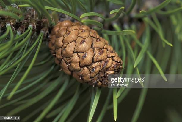 LODGEPOLE PINE FEMALE CONE CLOSED WITH NEEDLES PINUS CONTORTA YELLOWSTONE NP