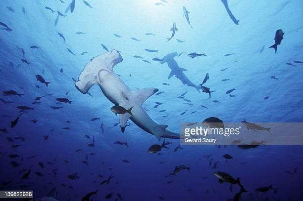 scalloped hammerhead sharks, sphyrna lewini. sphyrnides. galapagos, ecuador. (*) - hammerhead shark stock pictures, royalty-free photos & images