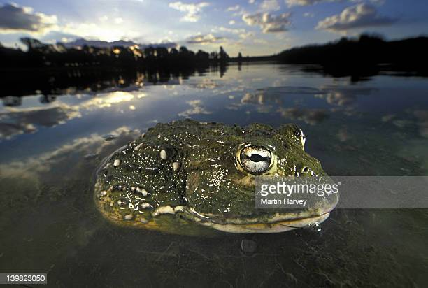 giant bullfrog, pyxicephalus adsperus, sitting in water, southern africa h males can be over 250mm in body length and weigh over one kilogram - insecteneter stockfoto's en -beelden